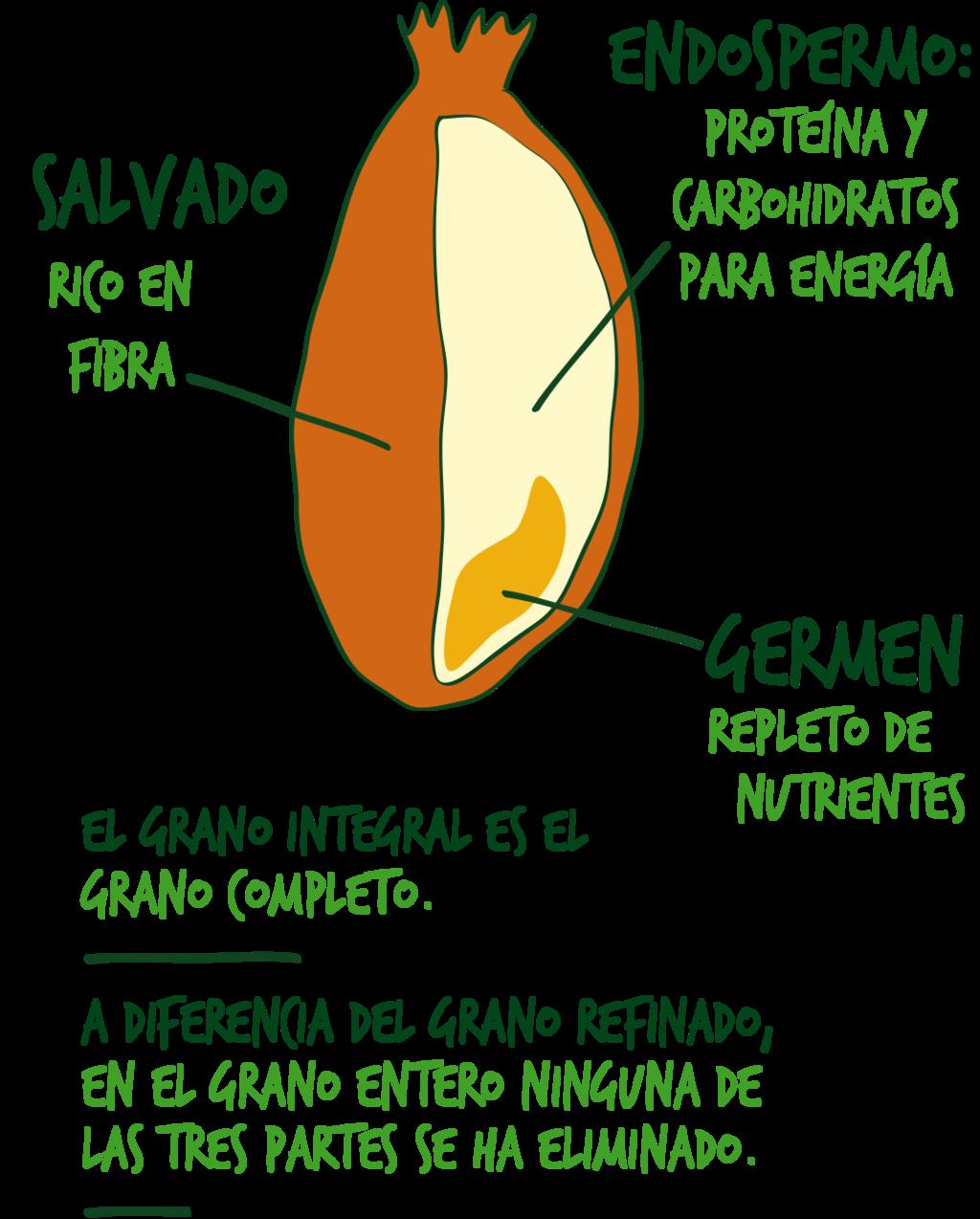 grano integral vs refinado